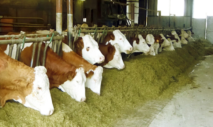 Le troupeau mange