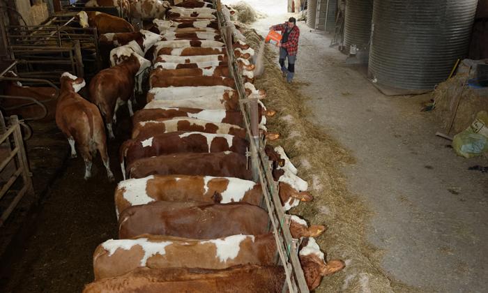 Christian nourrit les bêtes à la ferme du gazenas