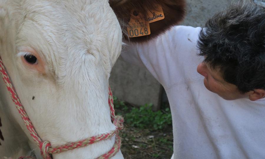 Laurence l'éleveuse et une vache